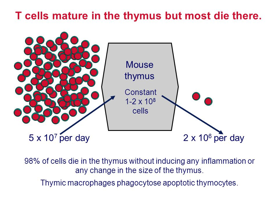 T cells mature in the thymus but most die there.