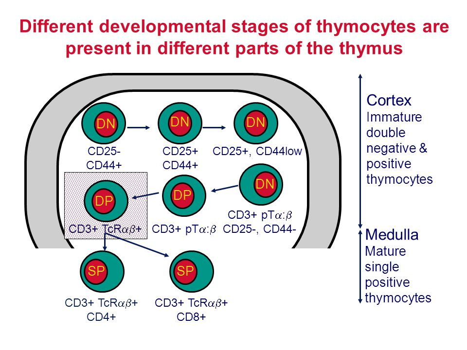 Different developmental stages of thymocytes are