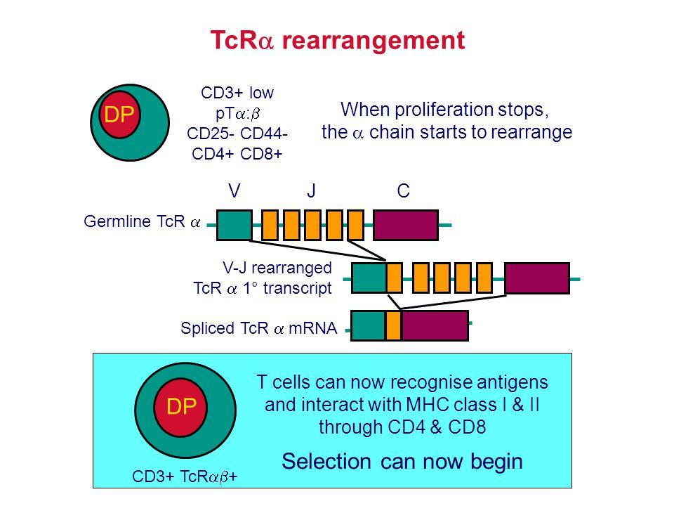 TcR rearrangement DP DP Selection can now begin