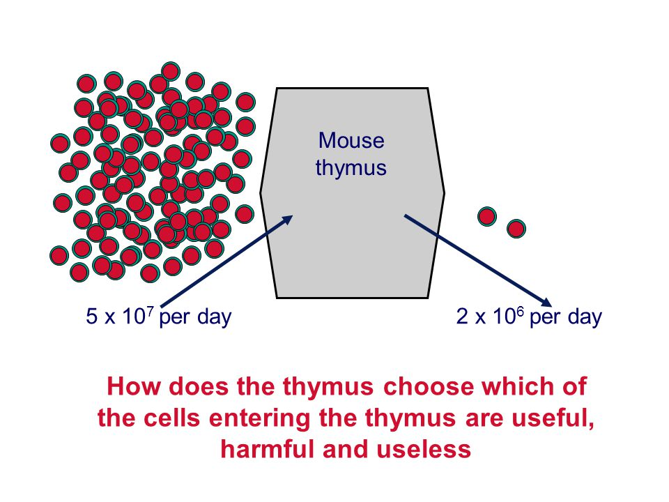 Mouse thymus. 5 x 107 per day. 2 x 106 per day.