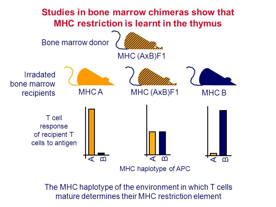 Studies in bone marrow chimeras show that