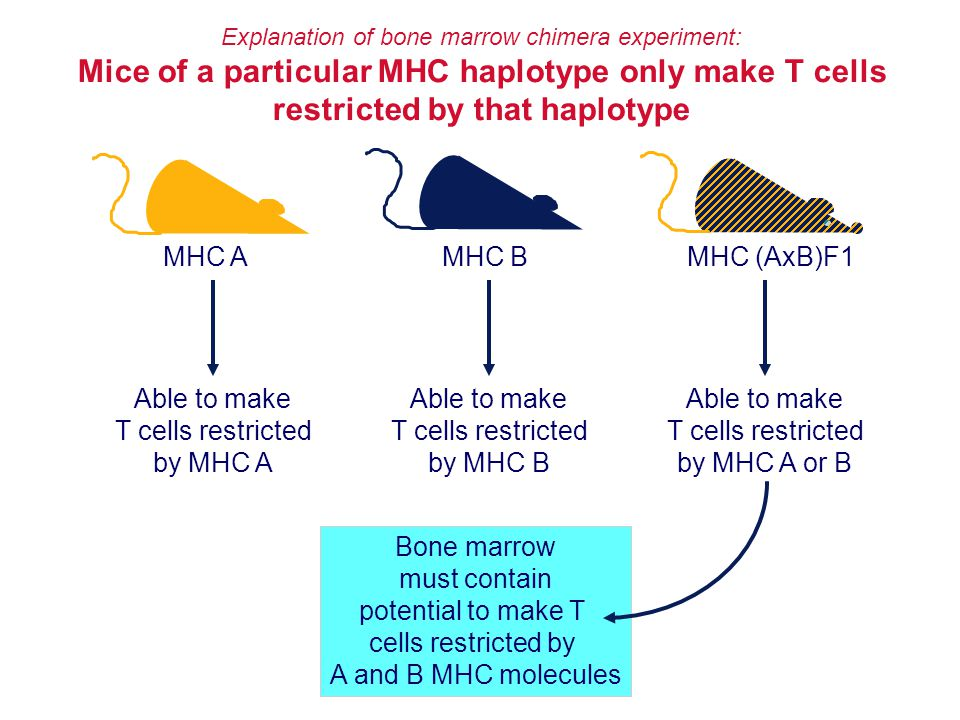 Mice of a particular MHC haplotype only make T cells
