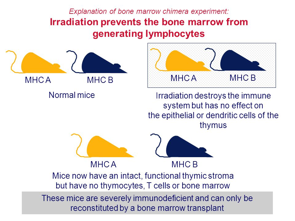 Irradiation prevents the bone marrow from generating lymphocytes