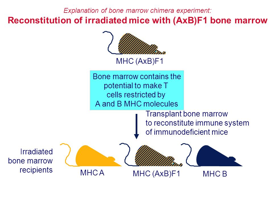 Reconstitution of irradiated mice with (AxB)F1 bone marrow