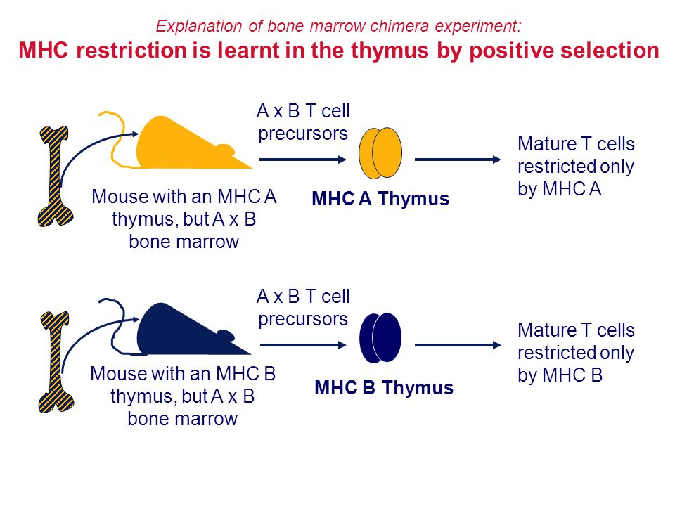 MHC restriction is learnt in the thymus by positive selection
