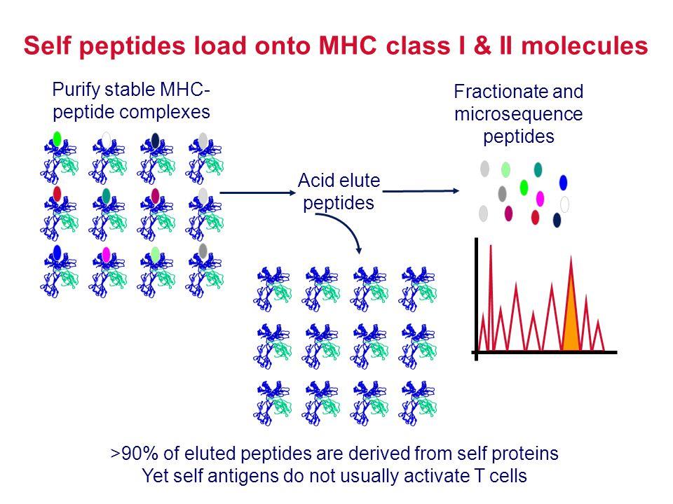Self peptides load onto MHC class I & II molecules