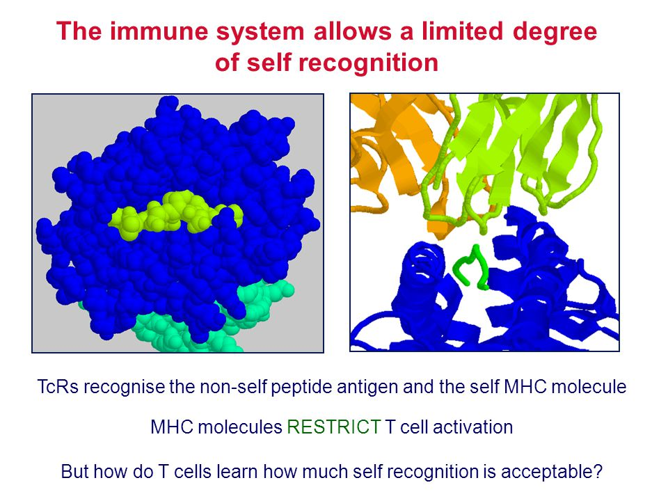 The immune system allows a limited degree