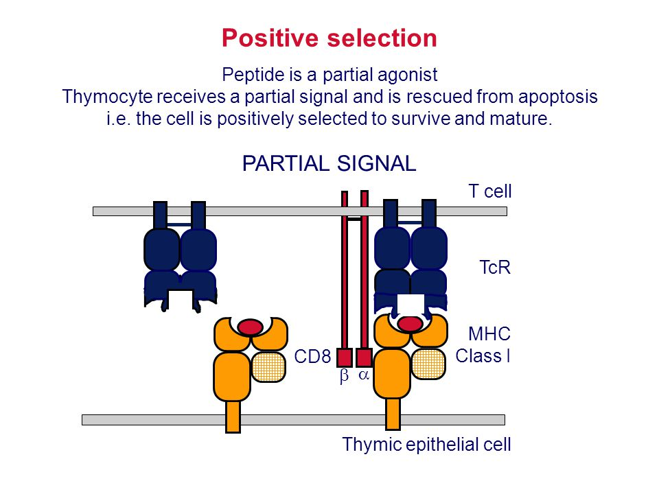 Positive selection PARTIAL SIGNAL Peptide is a partial agonist