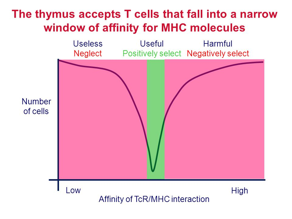 The thymus accepts T cells that fall into a narrow window of affinity for MHC molecules