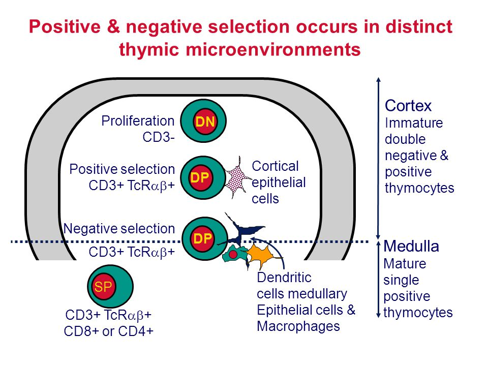 Positive & negative selection occurs in distinct thymic microenvironments