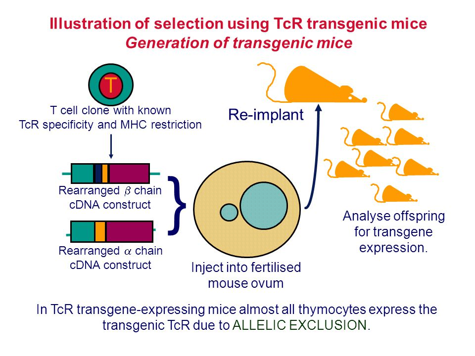 } T Illustration of selection using TcR transgenic mice