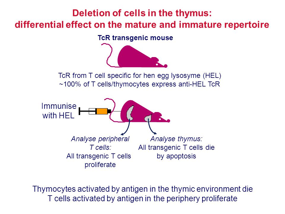 Deletion of cells in the thymus: