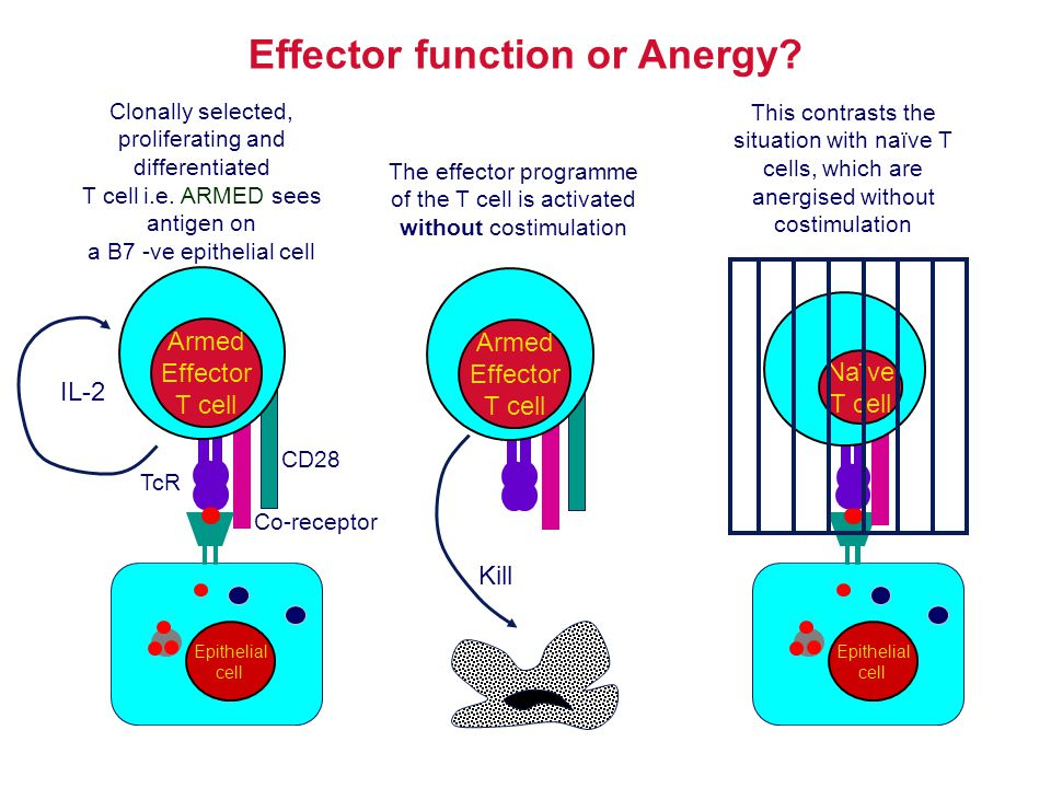 Effector function or Anergy