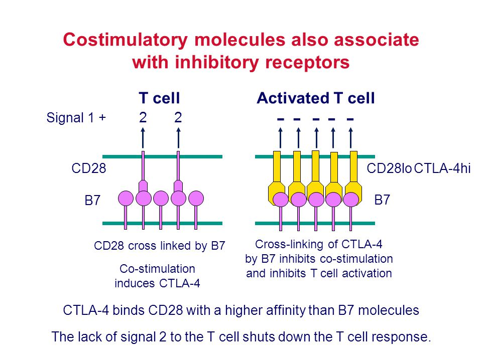 Costimulatory molecules also associate with inhibitory receptors