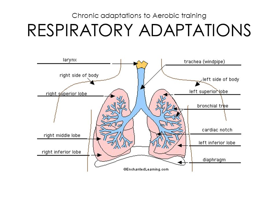 Chronic adaptations to Aerobic training RESPIRATORY ADAPTATIONS