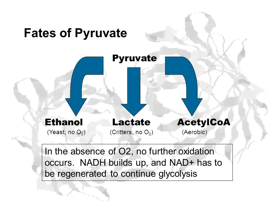 Fates of Pyruvate Pyruvate Ethanol Lactate AcetylCoA