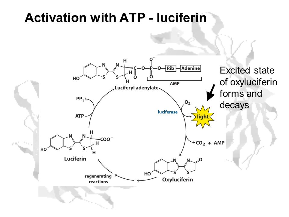 Activation with ATP - luciferin