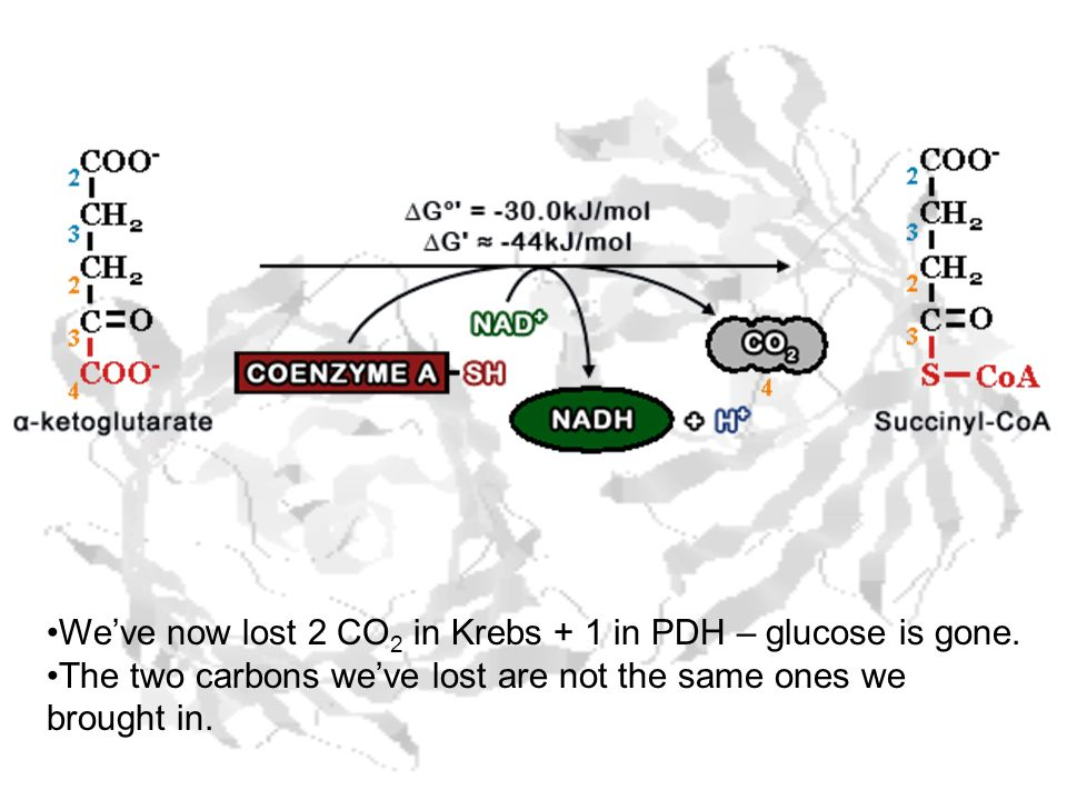 We've now lost 2 CO2 in Krebs + 1 in PDH – glucose is gone.
