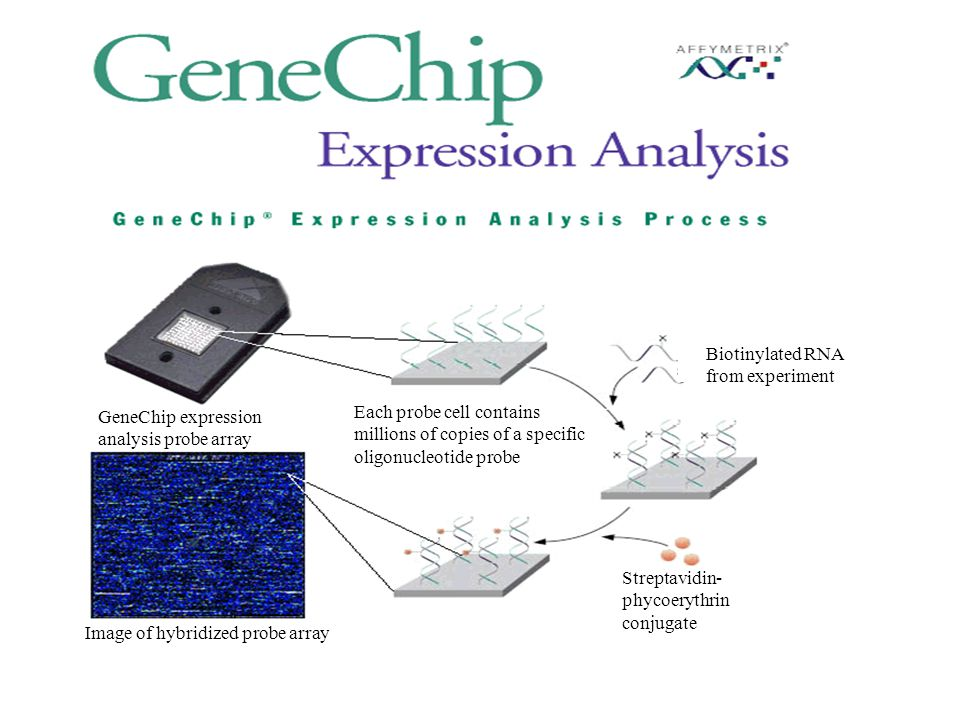 Biotinylated RNA from experiment. GeneChip expression. analysis probe array. Each probe cell contains.