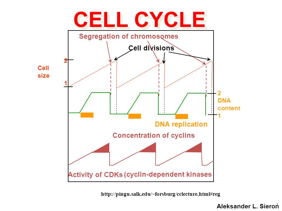 CELL CYCLE Segregation of chromosomes Cell divisions DNA replication