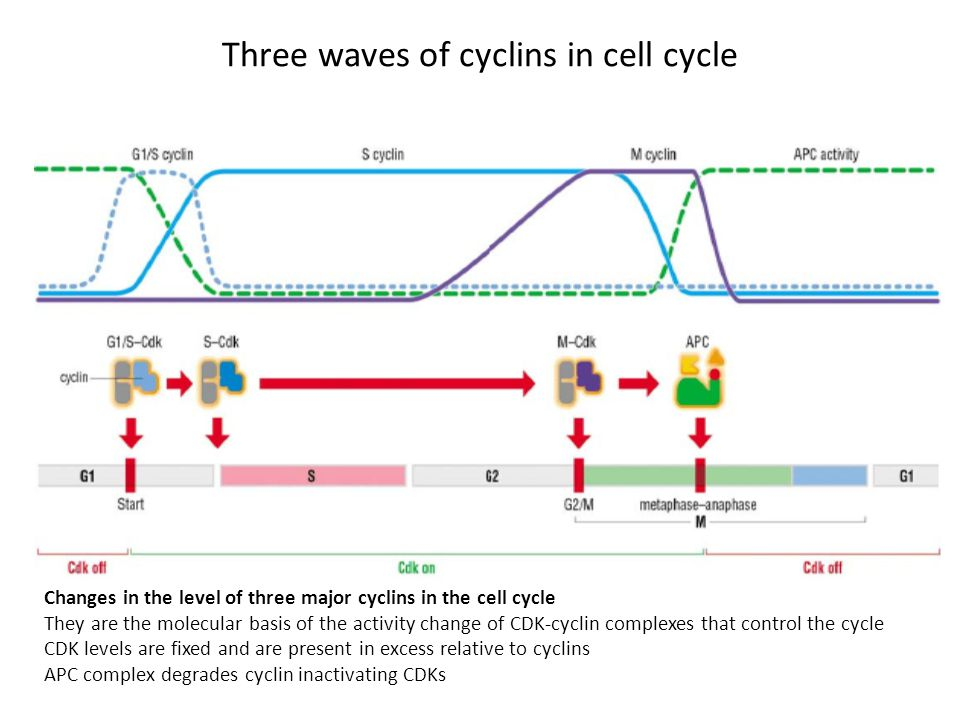 Three waves of cyclins in cell cycle