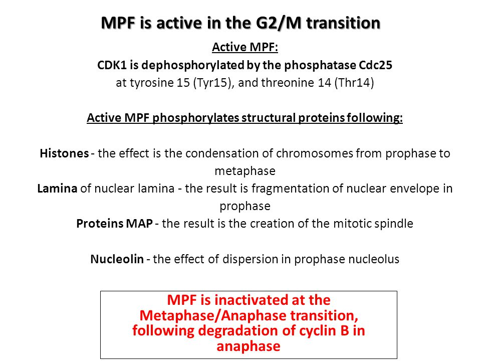MPF is active in the G2/M transition