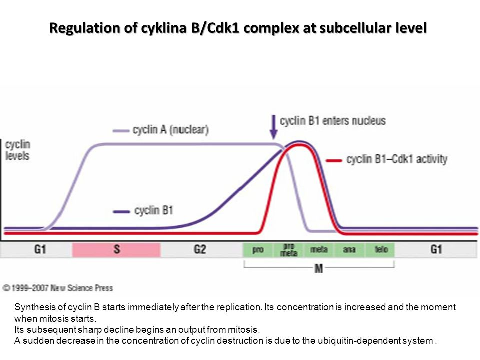 Regulation of cyklina B/Cdk1 complex at subcellular level