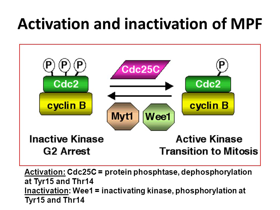 Activation and inactivation of MPF