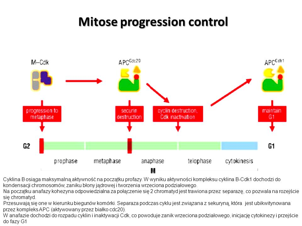 Mitose progression control