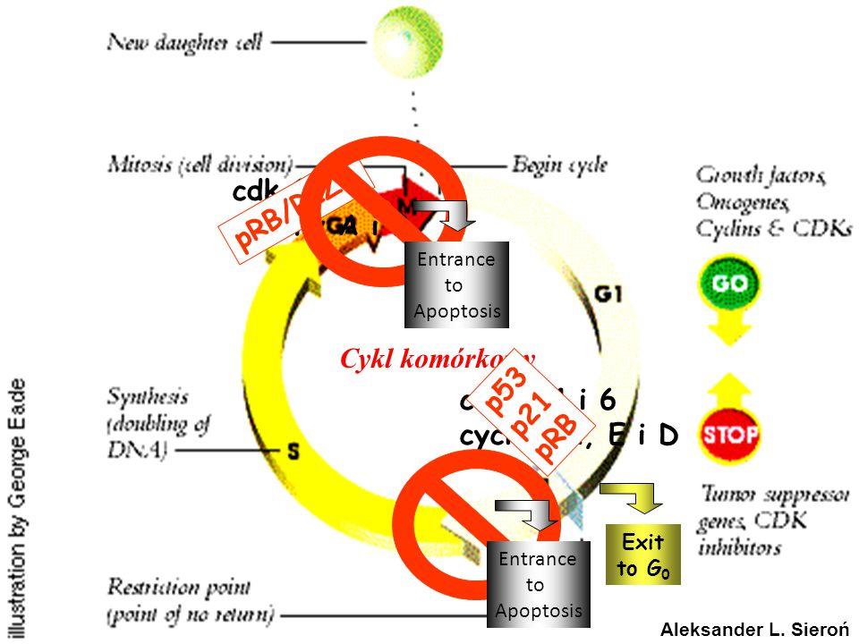 Cykl komórkowy cdk 1 cykliny A i B pRB/RIZ1 p53 p21 pRB cdk2, 4 i 6