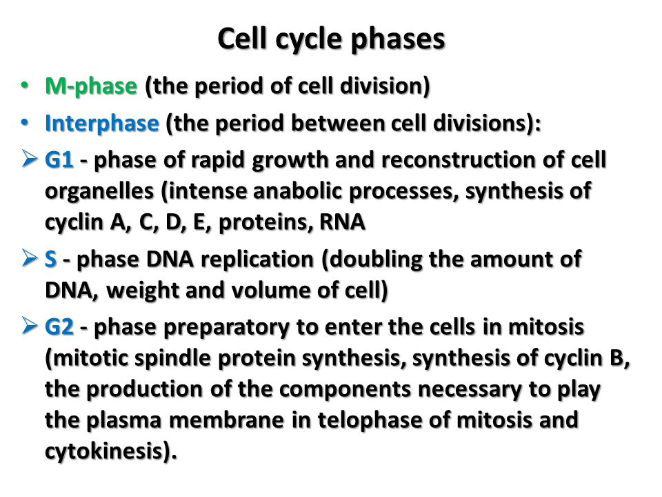 Cell cycle phases M-phase (the period of cell division)
