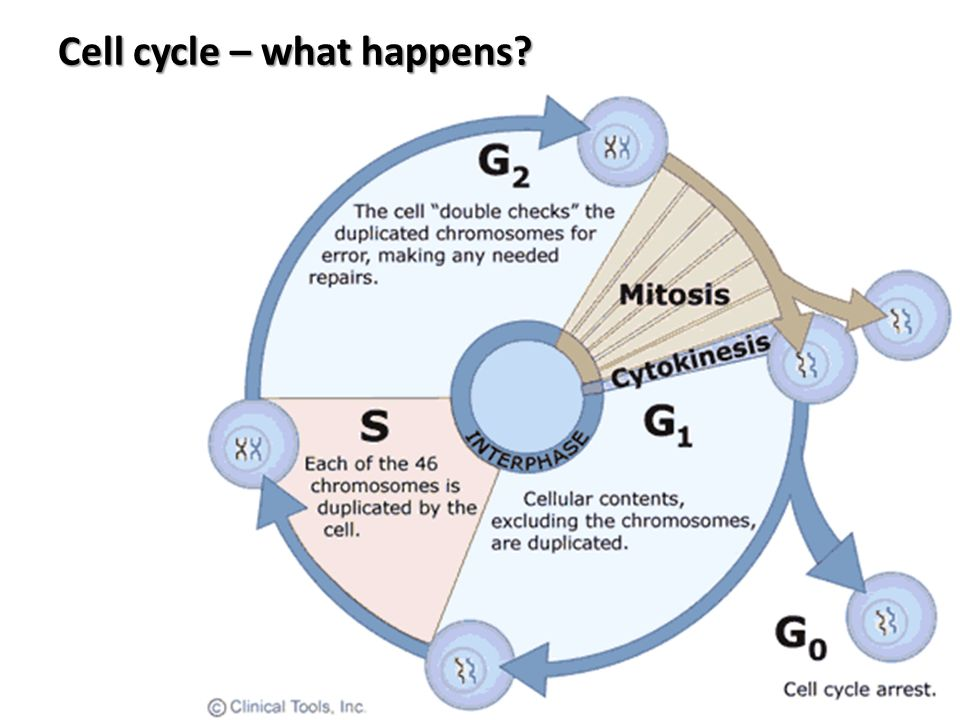 Cell cycle – what happens