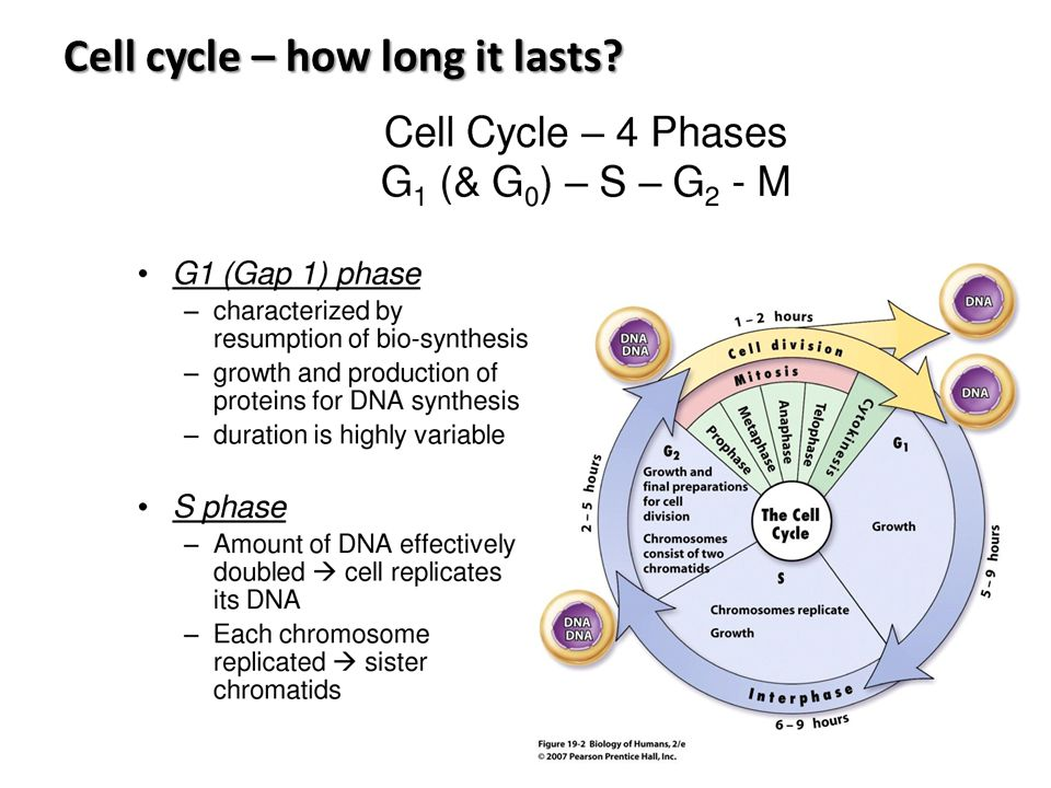 Cell cycle – how long it lasts