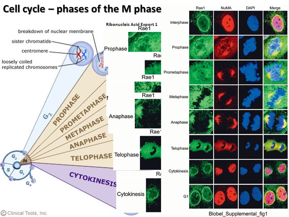 Cell cycle – phases of the M phase