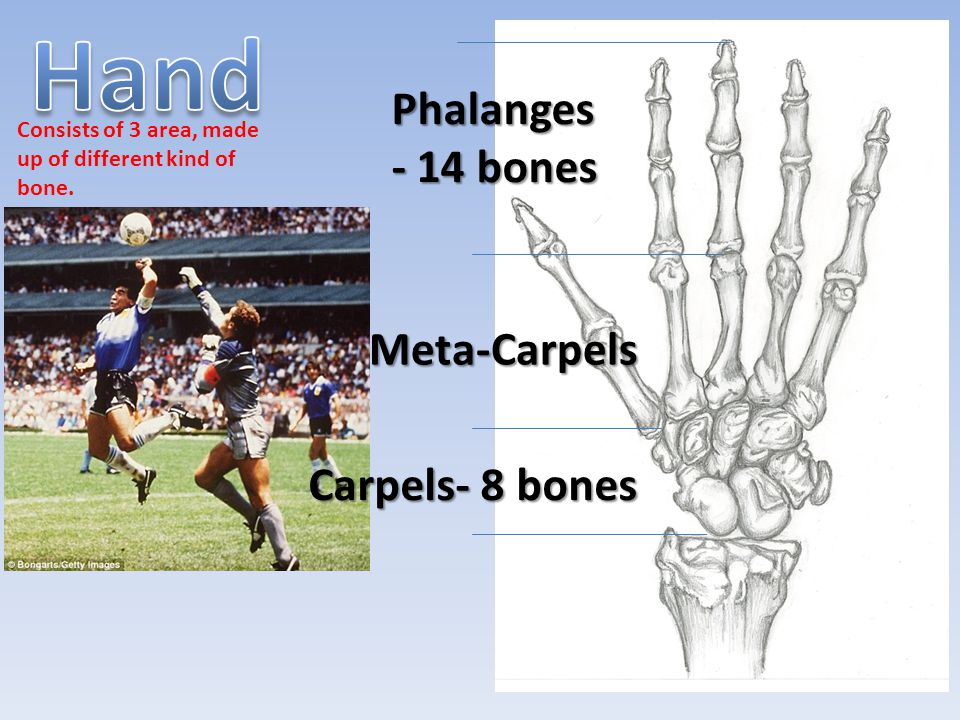 Hand Phalanges- 14 bones Meta-Carpels Carpels- 8 bones