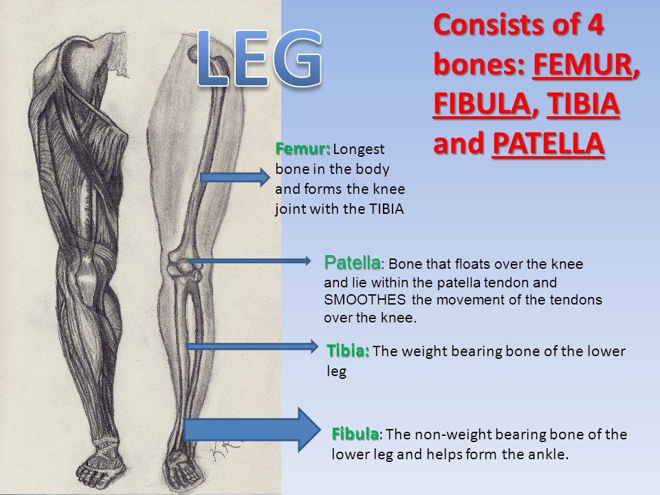 LEG Consists of 4 bones: FEMUR, FIBULA, TIBIA and PATELLA