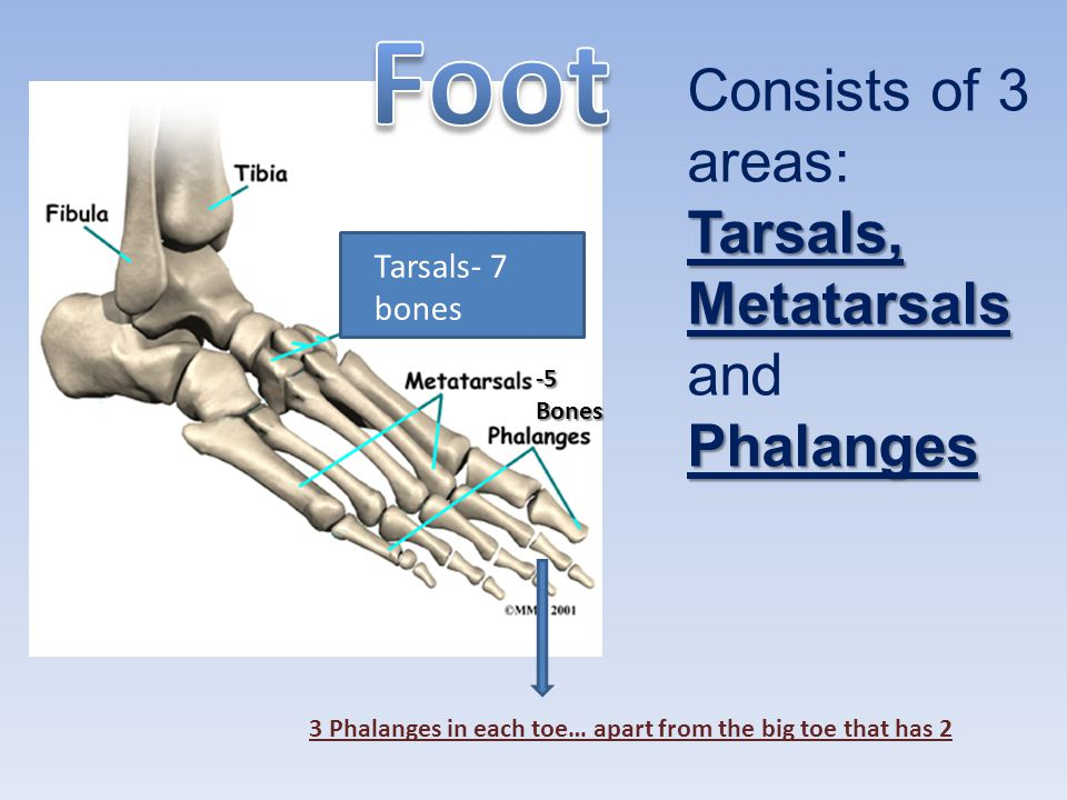 Foot Consists of 3 areas: Tarsals, Metatarsals and Phalanges