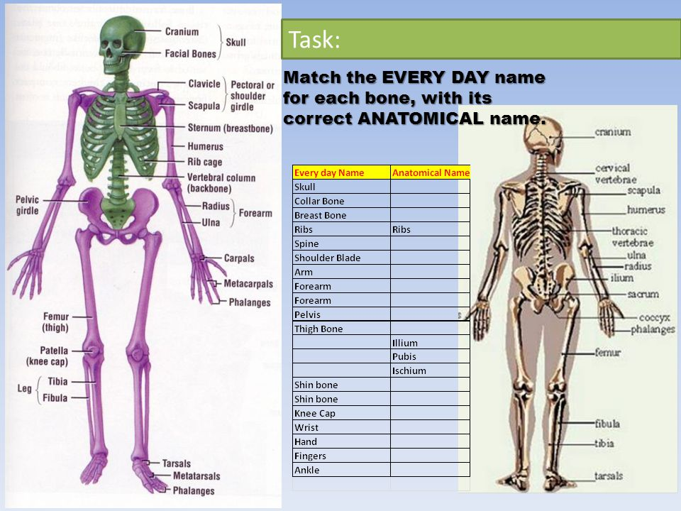 Task: Match the EVERY DAY name for each bone, with its correct ANATOMICAL name.