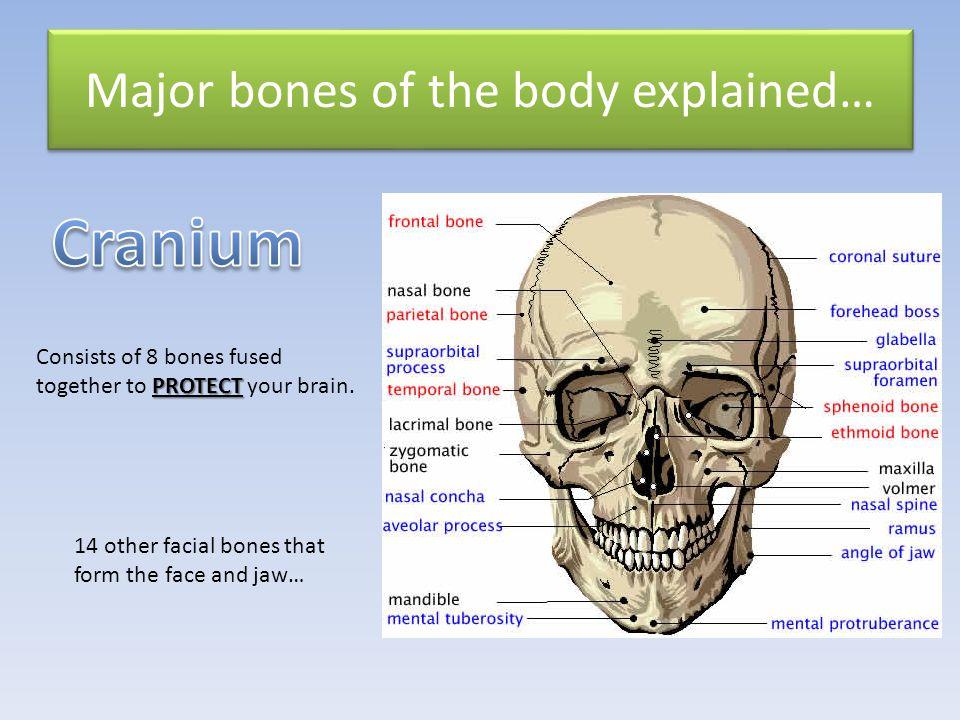 Major bones of the body explained…