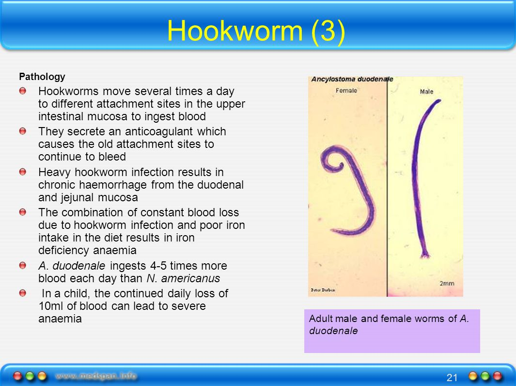 Hookworm (3)Pathology. Hookworms move several times a day to different attachment sites in the upper intestinal mucosa to ingest blood.