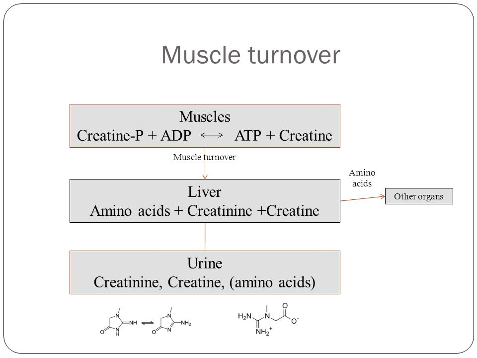 Muscle turnover Muscles Creatine-P + ADP ATP + Creatine Liver