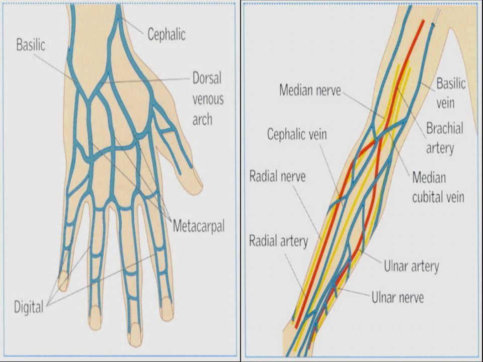 In these diagrams - Veins are blue – arteries red and nerves are yellow