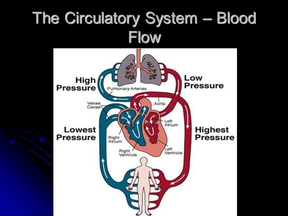 The Circulatory System – Blood Flow
