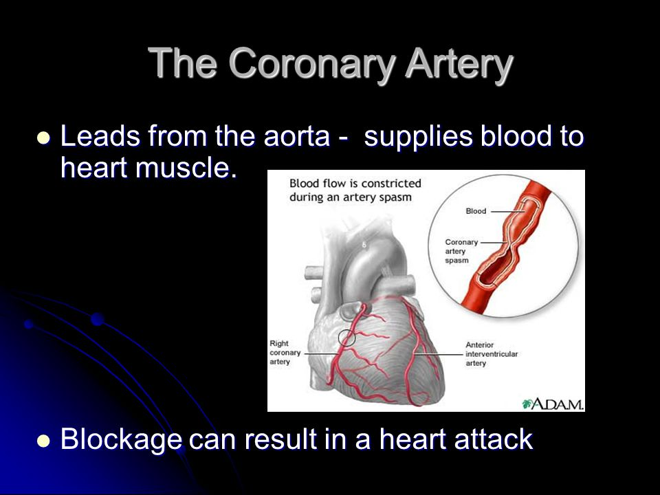 The Coronary Artery Leads from the aorta - supplies blood to heart muscle.