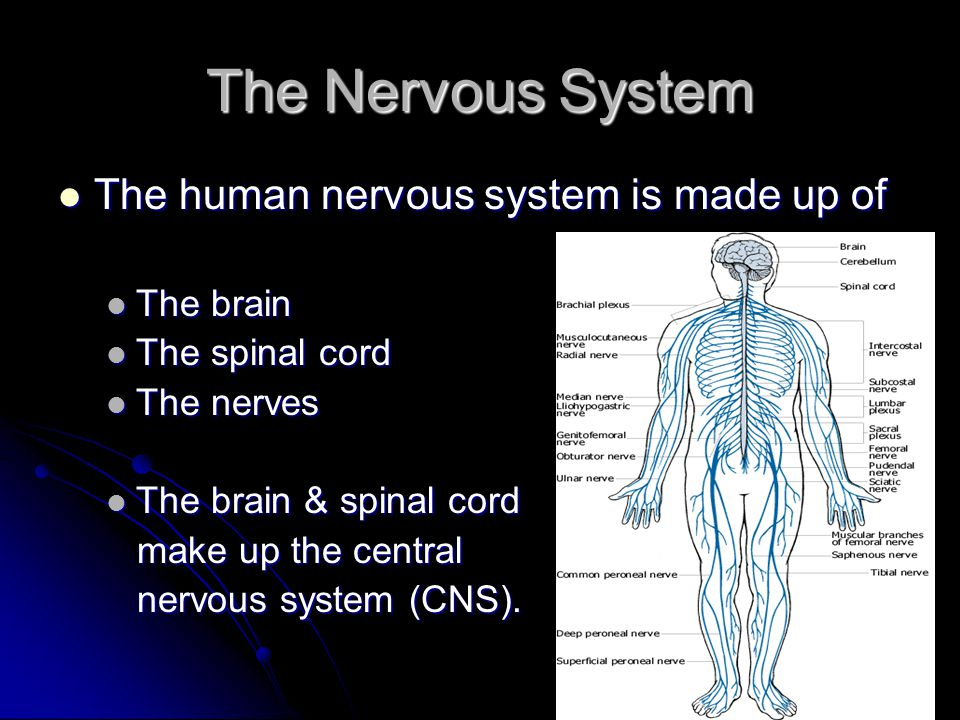 The Nervous System The human nervous system is made up of The brain