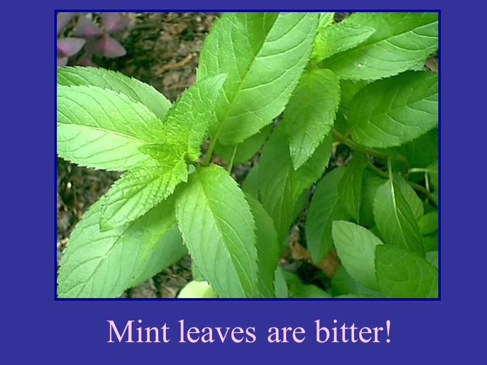 Mint leaves are bitter!