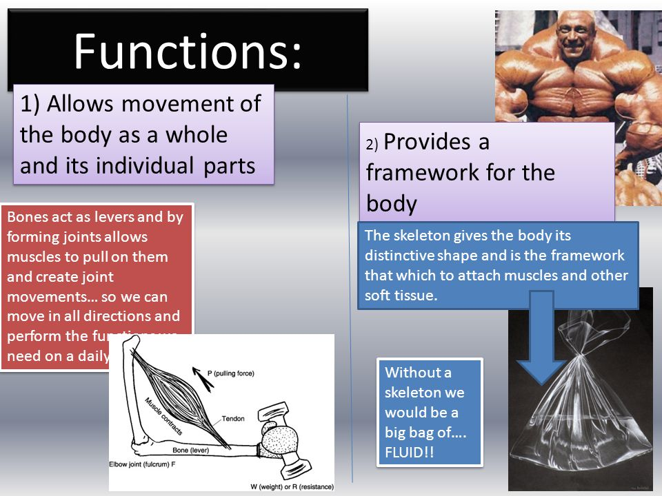 Functions: 1) Allows movement of the body as a whole and its individual parts. 2) Provides a framework for the body.