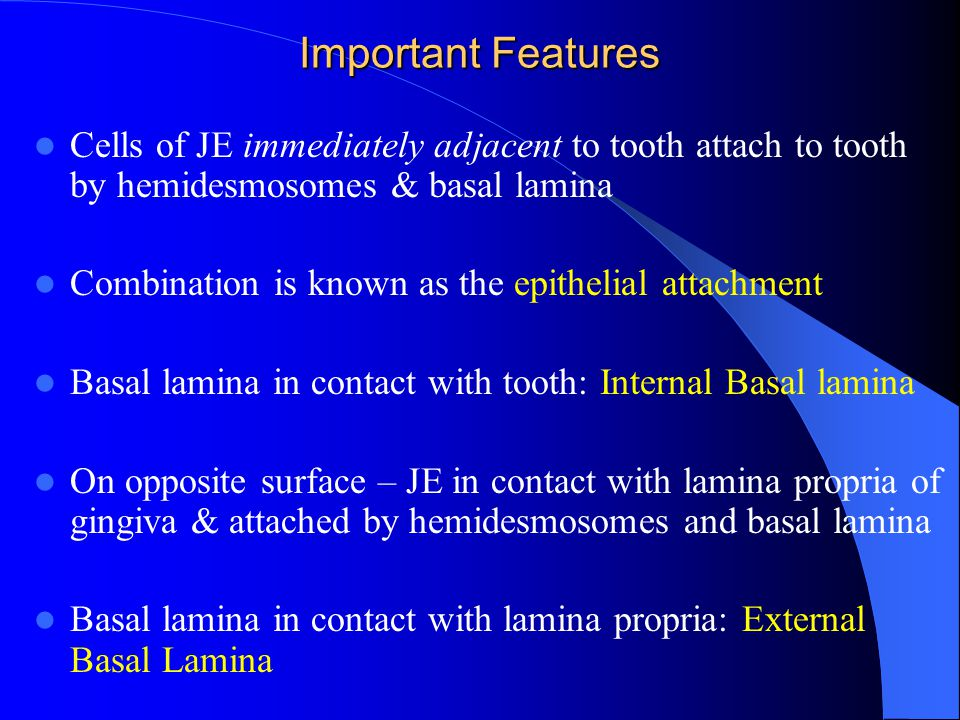 Important Features Cells of JE immediately adjacent to tooth attach to tooth by hemidesmosomes & basal lamina.
