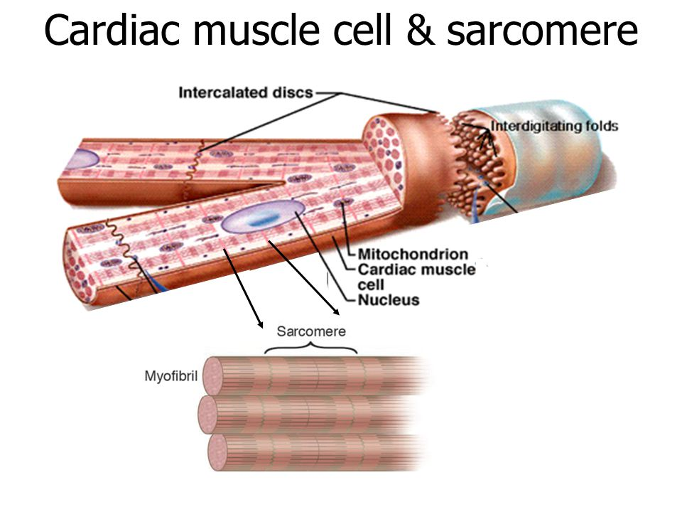 Cardiac muscle cell & sarcomere