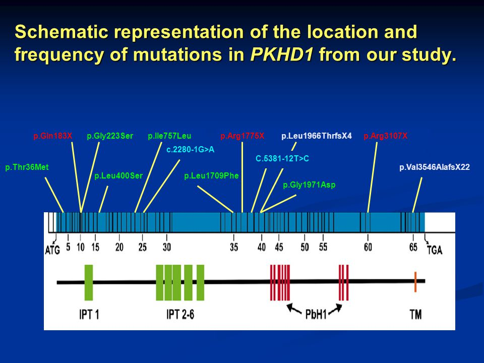 Schematic representation of the location and frequency of mutations in PKHD1 from our study.